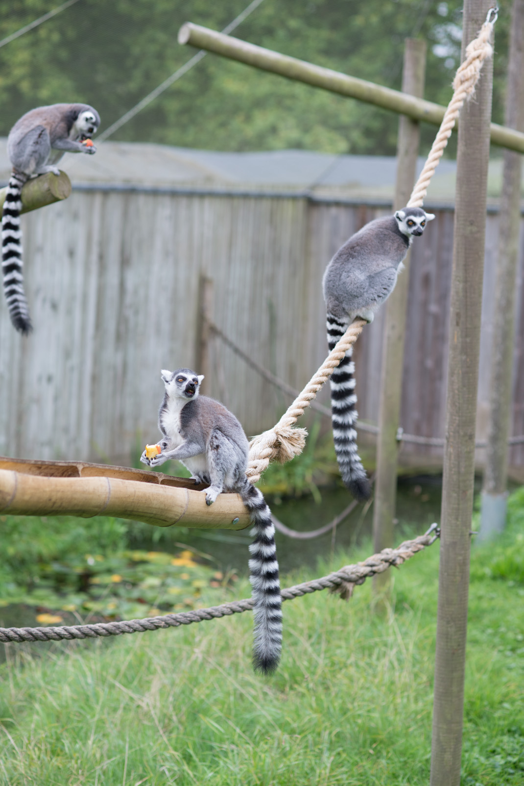 lemur, Madagascar, Marwell Zoo, stripey, cute, animals
